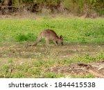 Young Kangaroo In Its Natural...