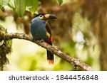Plate Billed Mountain Toucan ...