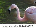 Chilean Flamingo ...