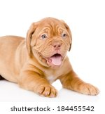 Bordeaux Puppy Dog. Isolated O...