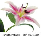 White And Red Lilies With Brown ...