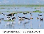 Flock Of Black Winged Stilt...