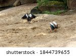 Two Egyptian Geese Seen From...
