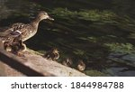 Duck With Young Ducklings Near...