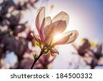 magnolia flowers close up on a blur green grass and leaves backlit background at sunset - stock photo