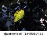 Floated Yellow Fallen Leaf On...