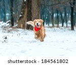 Young Golden Retriever Run At...