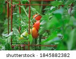 Roma Tomatoes Growing In Tomato ...