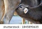 Close Up Of Baby Calf Drinking...