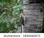 Woodpecker On The Trunk Of A...