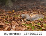 Grey Squirrel In The Middle Of...