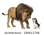 Lion Standing And Looking At A...