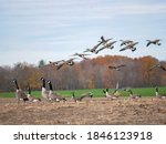 Canadian Geese Flocking In A...