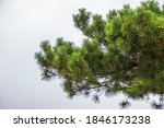 Green Pine Branches With...
