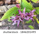Tricyrtis Hirta Or Toad Lily In ...