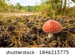 Fly agaric in autumn forest....