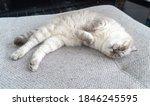 Photo Scottish Cat  Scottish...