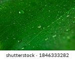 Wet Surface Of Monstera Green...