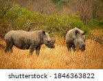 Two Rhinos From Africa Grassland