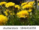 A Yellow Dandelion Flower With...