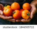 A Man Holds Homemade Tomatoes...