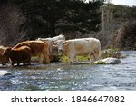 Cows Crossing The River In...