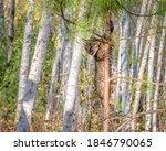 Bobcat Kitten Climbing A Pine...