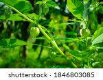 Growing Green Tomatillos In...