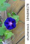 Purplish Blue Clematis...