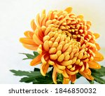 Yellow Chrysanthemum In Full...