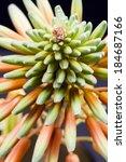aloe vera flower with details