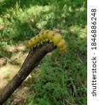Big Giant Yellow Caterpillar...