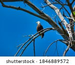 Bald Eagle Perched In The Top...