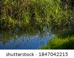 Bulrushes Growing In The Lake...