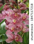 Closeup Of Cymbidium Bloom On...
