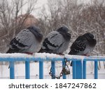 Three Pigeons With Ruffled Up...