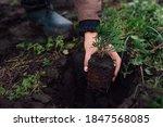 Gardener Taking Small Thuja Out ...