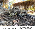 Desiccated Carcass Of A Young...