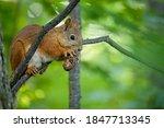 A Cute Little Squirrel Nibbles...
