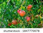 Closeup Of Red Pomegranates...