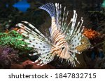 Salt Water Lion Fish With Coral ...