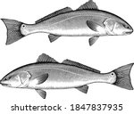 Illustration Of A Red Drum Fis...
