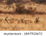 A Group Of Eland Antelope In...