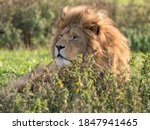 Majestic Male Lion Resting In...