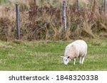 A Young Woolly Lamb Grazing In...