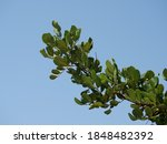 A Branch Of A Ficus Tree With...