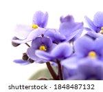 Light Blue African Violet...