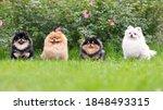 Portrait Of Fluffy Pomeranian...