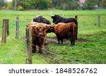 A closeup shot of bulls on the...