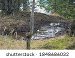 Small photo of It's a wallow for the red deers in the forest